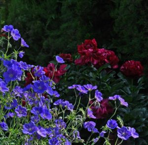 Cranesbill and peonies