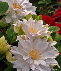 Where there is no vision, the people perish: but he that keepeth the law, happy is he. Proverbs 29:18 (Duchess of Edenburgh clematis)