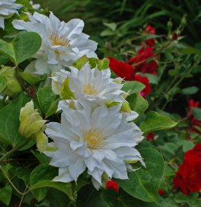 White clematis, red roses